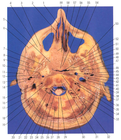Anatomy Atlases Atlas Of Human Anatomy In Cross Section Section 1