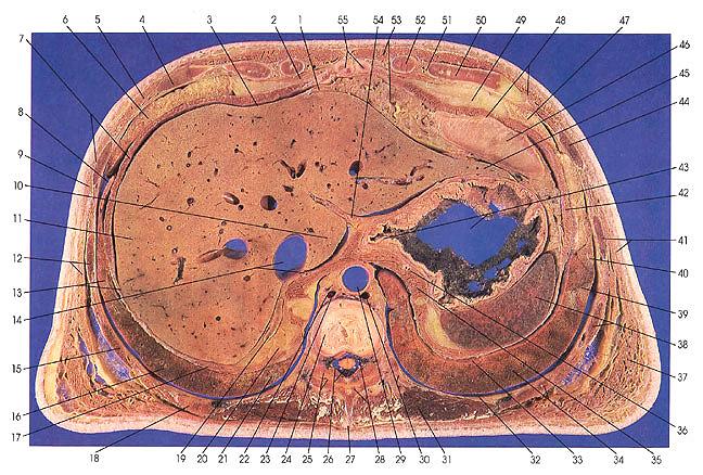 pectoralis major muscle diagram plate 5 2  plate 5 2
