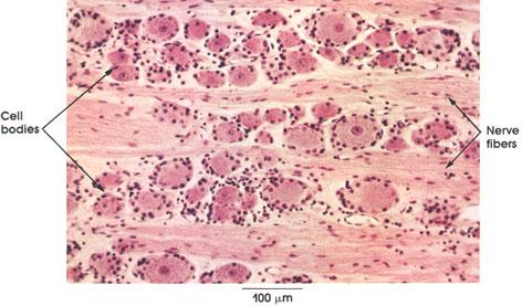 Plate 6.100 Dorsal Root Ganglion: Sensory neurons
