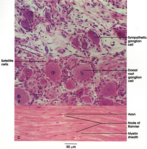 Plate 6.104 Ganglion Cells: Nodes of Ranvier