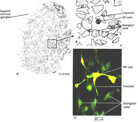 Plate 6.108 Catecholamine-Containing Interneurons and Paraneurons