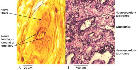 Plate 6.116 Neurohypophysis