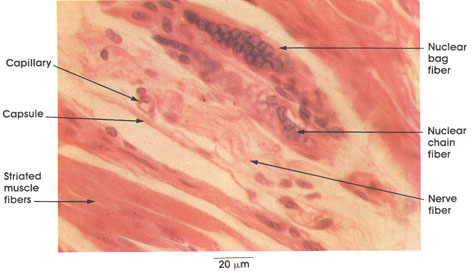 Plate 6.121 Muscle Spindle: Gastrocnemius muscle