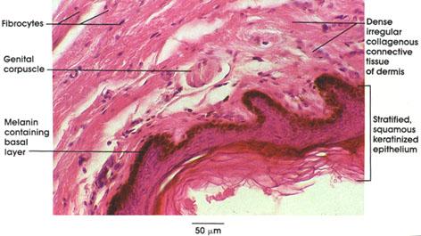 Plate 6.127 Genital Corpuscle