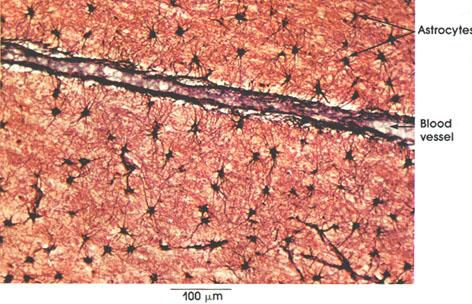 Plate 6.129 Neuroglia: Fibrous Astrocytes