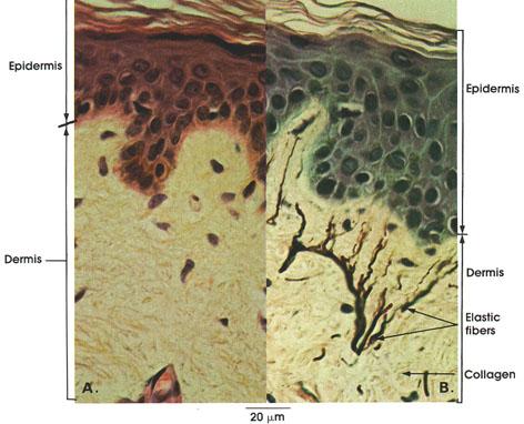 Plate 7.133 Skin: Shoulder