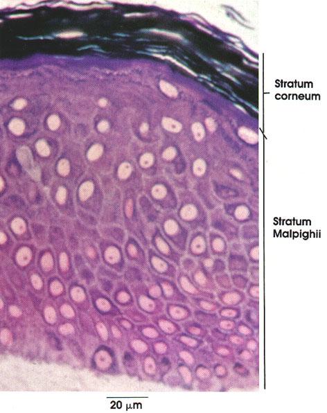 Plate 7.134 Skin, Epidermis