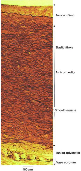 Plate 8.153 Aorta