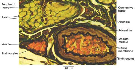 Plate 8.154 Arteriole and Venule