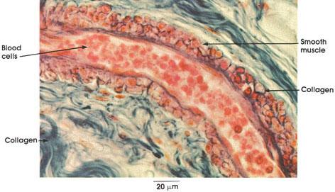 Plate 8.155 Arteriole