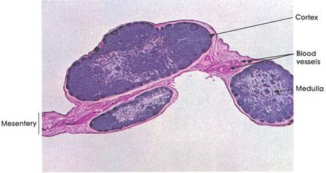 Plate 9.164 Lymph Nodes