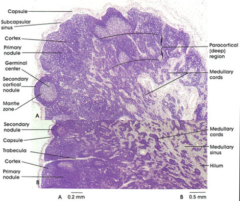Anatomy Atlases Atlas Of Microscopic Anatomy Section 1 Cells