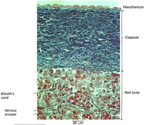 Plate 9.171 Spleen: Capsule