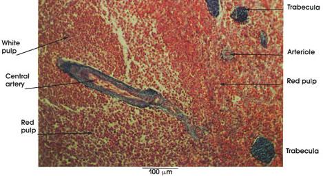 Plate 9.173 Spleen