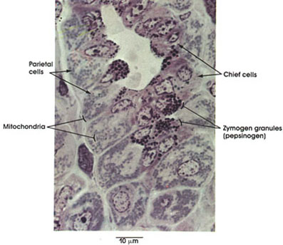 Plate 10.191 Stomach: Chief and Parietal Cells