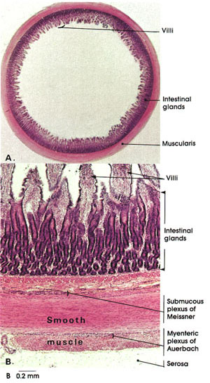 Plate 10.199 Jejunum: Cross Section