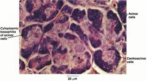 Plate 10.213 Pancreas