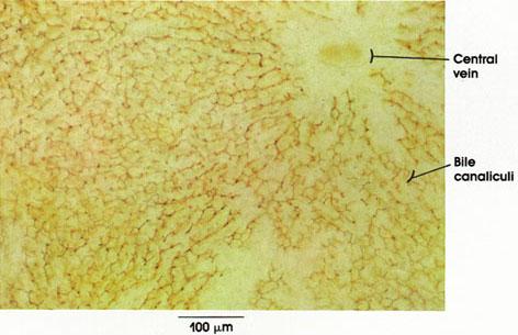 Plate 10.218 Liver: Bile Canaliculi