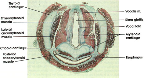 Plate 11.221 Larynx: Vocal Folds