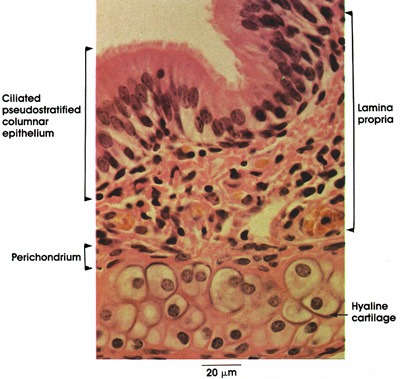 Plate 11.224 Trachea