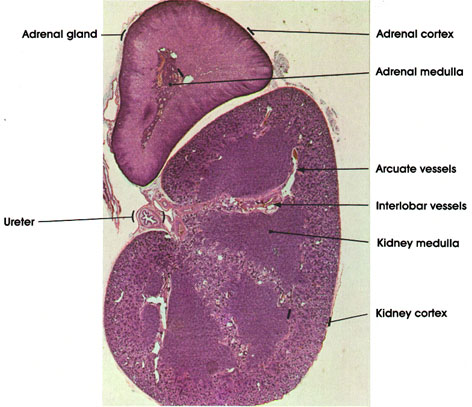 Plate 12.231 Kidney and Adrenal Gland