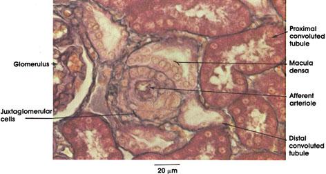 Plate 12.237 Kidney: Cortex