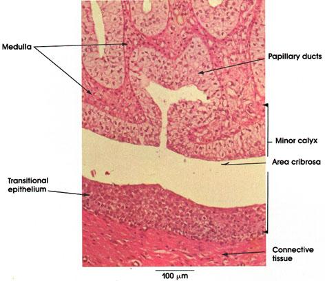 Plate 12.240 Kidney