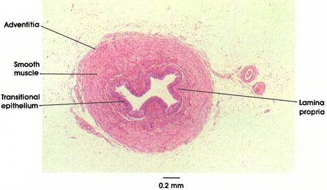 Plate 12.241 Ureter