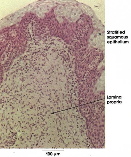 Plate 12.243 Urethra