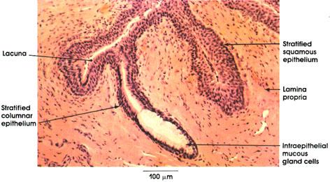 Plate 12.244 Urethra
