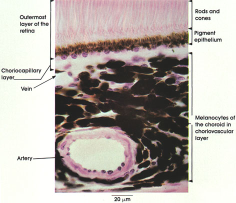 Anatomy Atlases: Atlas of Microscopic Anatomy: Section 1 - Cells