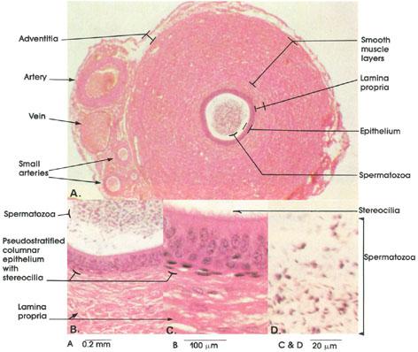 Cross Section Of Dog S Urethra