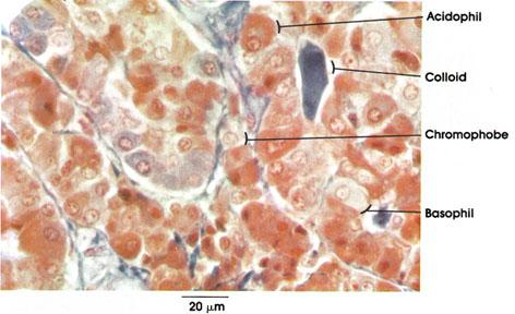 Plate 15.282 Pituitary Gland