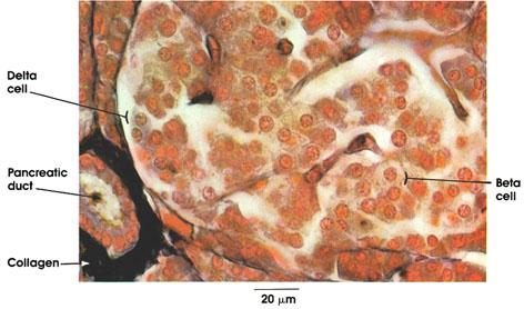 Plate 15.291 Pancreas