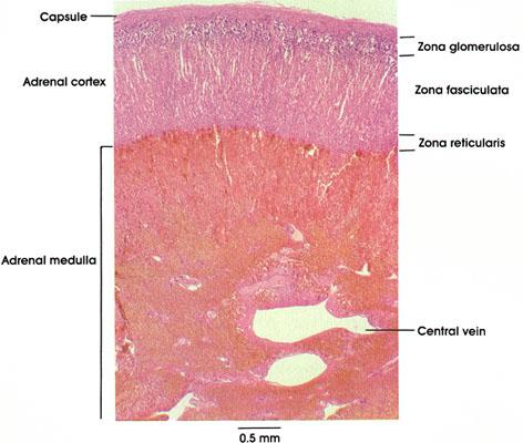 Plate 15.293 Suprarenal Gland
