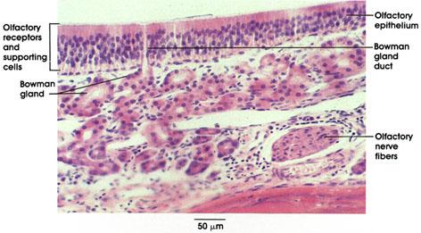Plate 16.297 Olfactory Mucosa