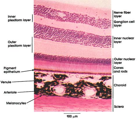 Plate 16.306 Retina