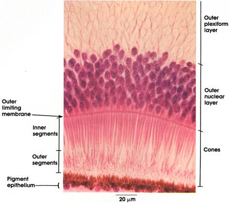 Plate 16.307 Retina