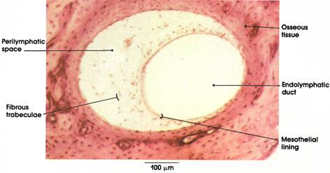 Plate 16.313 Semicirular Canal