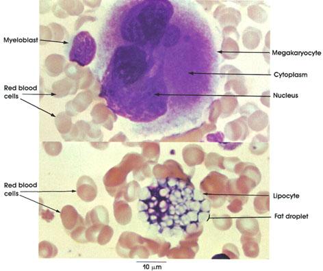 Anatomy Atlases: Atlas of Microscopic Anatomy: Section 1 - Cells