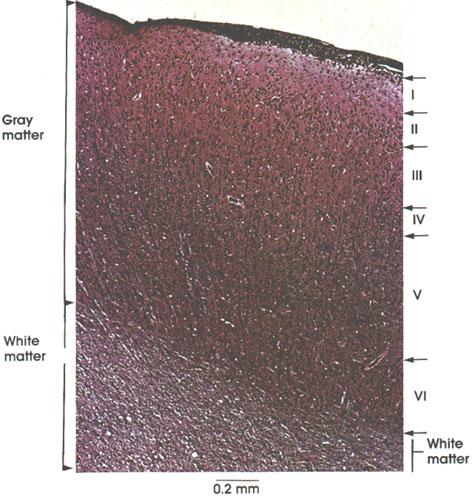 Plate 6.84 Cerebral Cortex