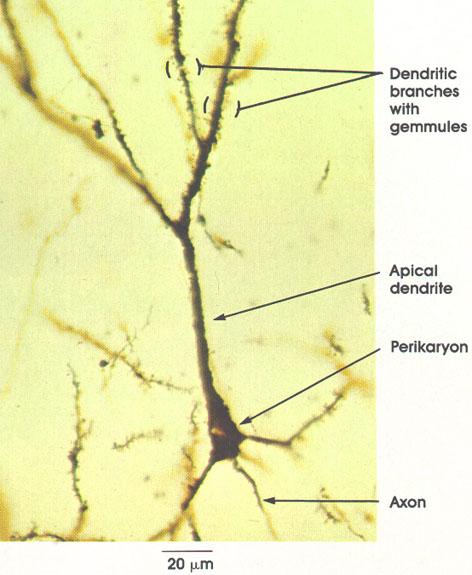 Plate 6.88 Cerebral Cortex