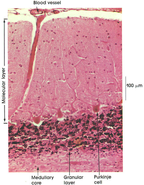 Plate 6.92 Cerebellum