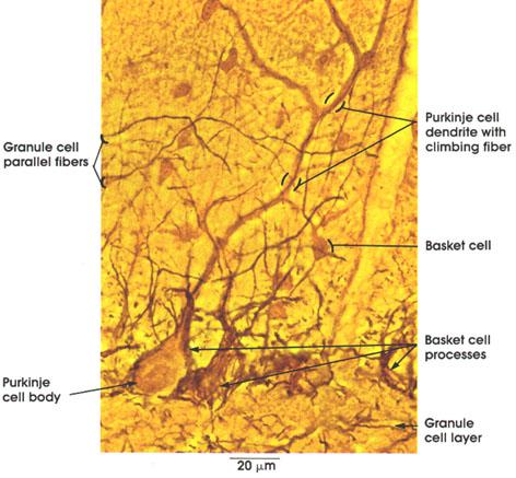 Plate 6.95 Cerebellum: Cortex
