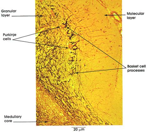 Plate 6.96 Cerebellum