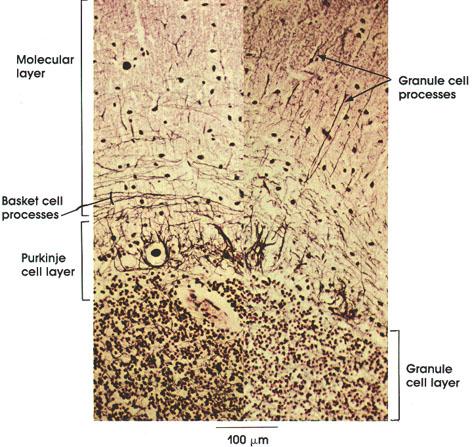 Plate 6.98 Cerebellum: Nerve cell processes