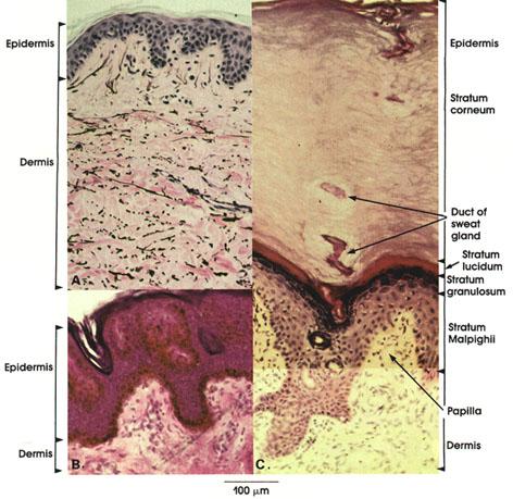 Human skin layers microscope