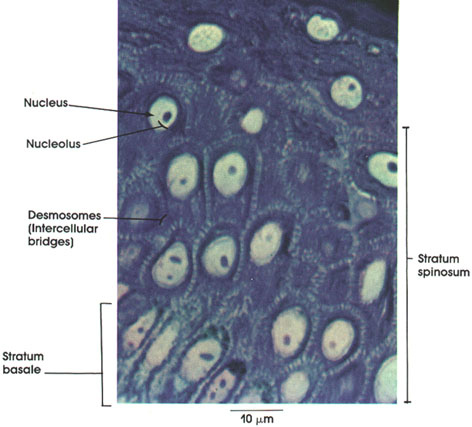 Plate 7.137 Stratified Squamous Epithelium