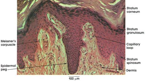 Plate 7.138 Dermal Papillae