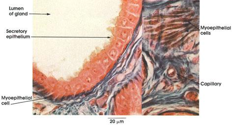 Plate 7.141 Axillary Sweat Gland: Myoepithelium